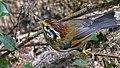 Rufous-winged Fulvetta Khangchendzonga Biosphere Reserve West Sikkim India 17.02.2016.jpg