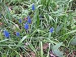 Ruhland, Grenzstr. 3, Weinbergs-Traubenhyazinthe im Garten, blühend, Frühling, 02.jpg