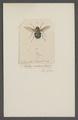 Rutilia - Print - Iconographia Zoologica - Special Collections University of Amsterdam - UBAINV0274 039 06 0035.tif