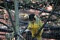 Saïmiri à tête noire (Zoo-Amiens).JPG