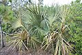 Sabal palmetto 4zz.jpg