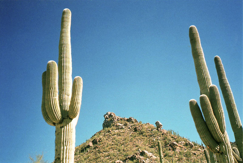 File:Saguaro cactus in Arizona.jpg