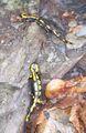 Salamandra salamandra 6608.JPG