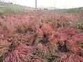 Salicornia rubra (7922149560).jpg