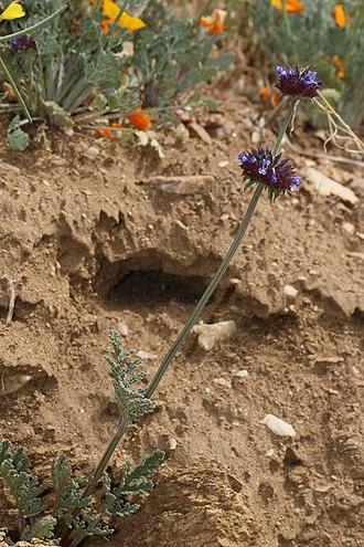 Salvia columbariae - Image: Salvia columbariae 7922