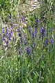 Salvia pratensis am Kordigast.jpg