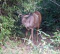 Sambar Deer, female. Servus unicolor - Flickr - gailhampshire.jpg