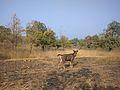 Sambhar Deer 3.jpg