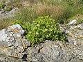 Samphire (Crithmum maritimum) - geograph.org.uk - 1439265.jpg