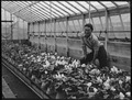 San Leandro, California. Greenhouse on nursery operated, before evacuation, by horticultural expert . . . - NARA - 537479.tif
