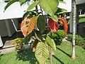 Sandoricum koetjape (Santol) leaves in RDA, Bogra 03.jpg