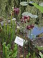 Sarracenia purpurea01.jpg