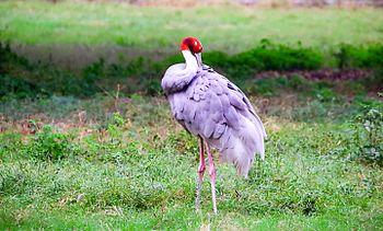 Sarus crane looking beautiful.jpg