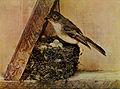 Sayornis phoebe 1905.jpg