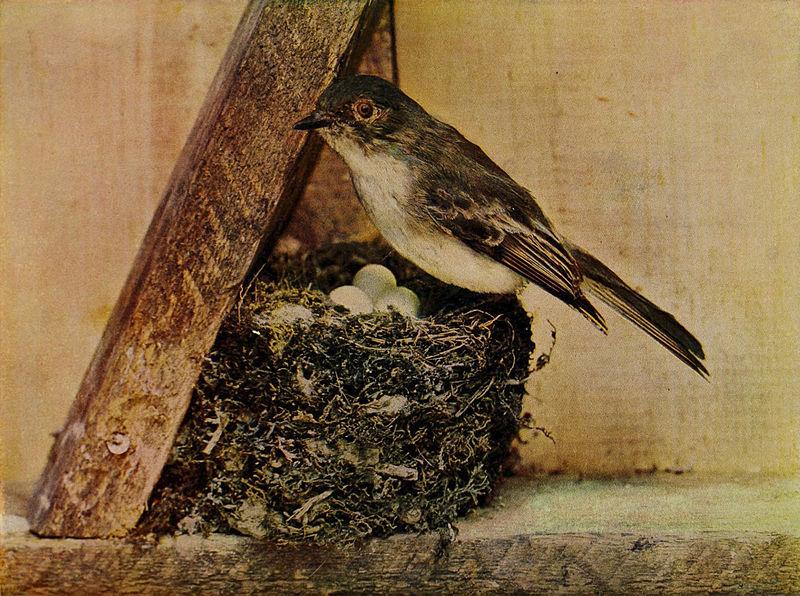 File:Sayornis phoebe 1905.jpg