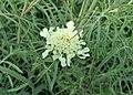 Scabiosa ochroleuca kz05.jpg