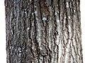 Scarlet Oak (30837092826).jpg