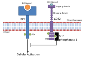 Schematic representation of the CD22 and B-cell receptor signalling process.png