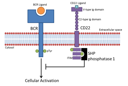 Schematic representation of the CD22 and B-cell receptor signalling process, showing the domain structure of CD22
