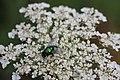 Schmeißfliege (Calliphoridae) (01) (28687617740).jpg