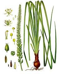 Schoenocaulon officinale - Köhler–s Medizinal-Pflanzen-262