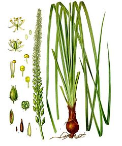 Schoenocaulon  officinale