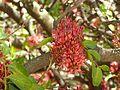 Schotia brachypetala, lente, d, Pretoria.jpg