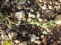 Scleranthus annuus (s. str.) sl39.jpg