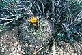 Sclerocactus pubispinus fh 103 9 UT BB.jpg