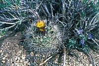 Sclerocactus pubispinus fh 103 9 UT BB