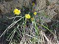 Scorzonera austriaca sl6.jpg