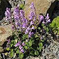 Scutellaria indica parviflora 5.JPG