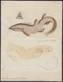 Scyllium canicula - 1700-1880 - Print - Iconographia Zoologica - Special Collections University of Amsterdam - UBA01 IZ14100111.tif