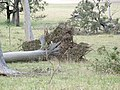 Seaham trees down5 - Flickr - Macleay Grass Man.jpg