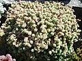 Sedum dasyphyllum (1) 3.JPG