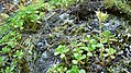 Sedum oreganum near White River Campground NW of Lake Wenatchee Chelan County Washington.jpg