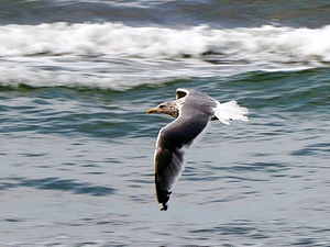 Vega gull - Adult Vega gull in flight
