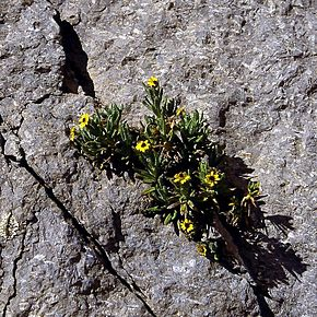 Description de l'image Senecio keniophytum.jpg.