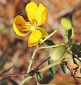 Senna planitiicola flower.jpg