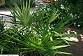 Serenoa repens 1zz.jpg