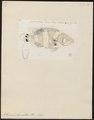 Serranus lanceolatus - 1774-1804 - Print - Iconographia Zoologica - Special Collections University of Amsterdam - UBA01 IZ12900168.tif