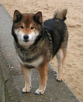 Shiba Inu Wolf Husky Big Dog And Good Dogs
