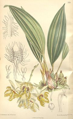Sievekingia reichenbachiana - Curtis' 124 (Ser. 3 no. 54) pl 7576 (1898).jpg