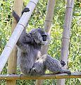 Silbergibbon Hylobates moloch Tierpark Hellabrunn-4.jpg