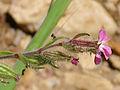 Silene psammitis Enfoque 2010-6-06 SierraMadrona.jpg