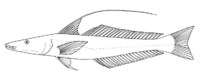 Sillaginopsis panijus