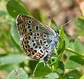 Silver-studded Blue. Male. Plebejus argus. u.s (16221303101).jpg