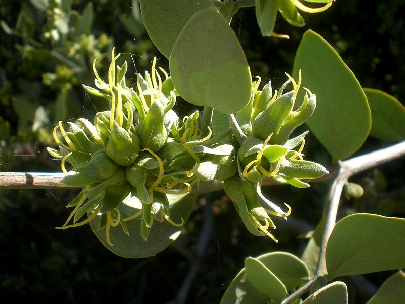 File:Simmondsia chinensis 3c.JPG