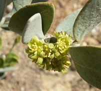 Close-up of male jojoba flowers.