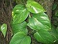 Sindapsus aureus-plant-yercaud-salem-India.jpg
